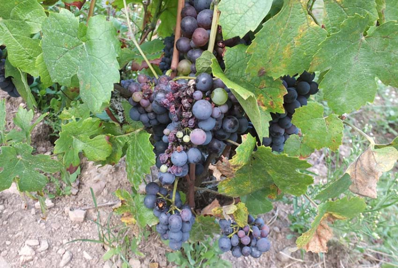 1philippe_jambon_roche_noire_grapes_grilled