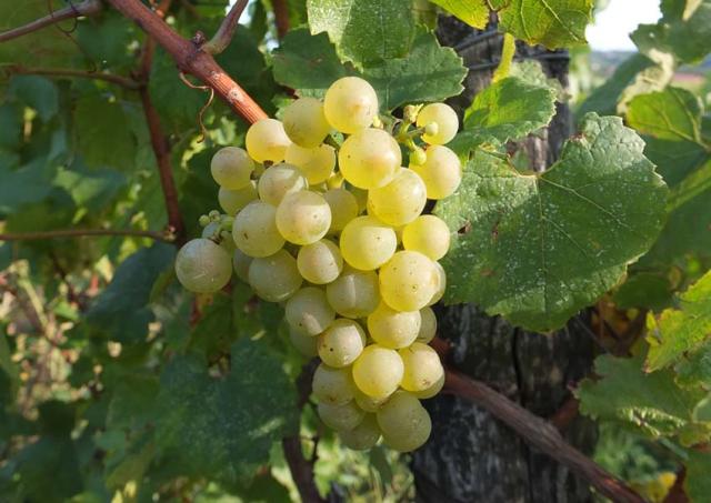 1philippe_jambon_parcel2_grapes