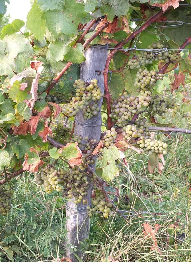 1philippe_jambon_parcel_chardonnay_small_berries