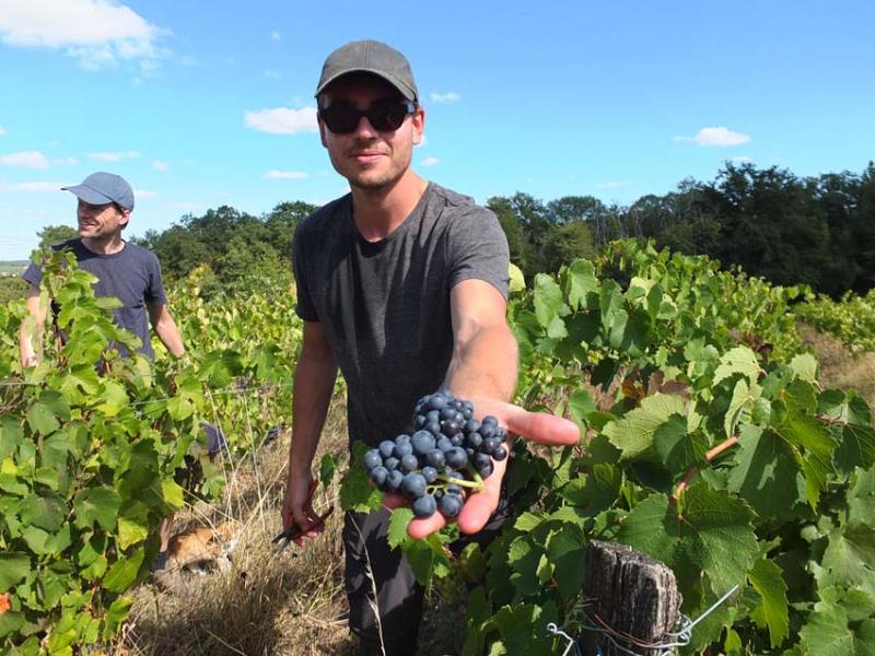 1harvest_gillet_great_grapes