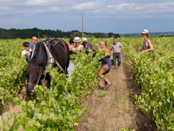 1agil_percherons_estelle_grapes_pickers