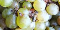 1enek_peterson_bee_on_grapes2