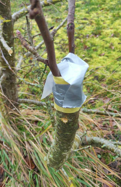 1grafting_appletree_protection_tape
