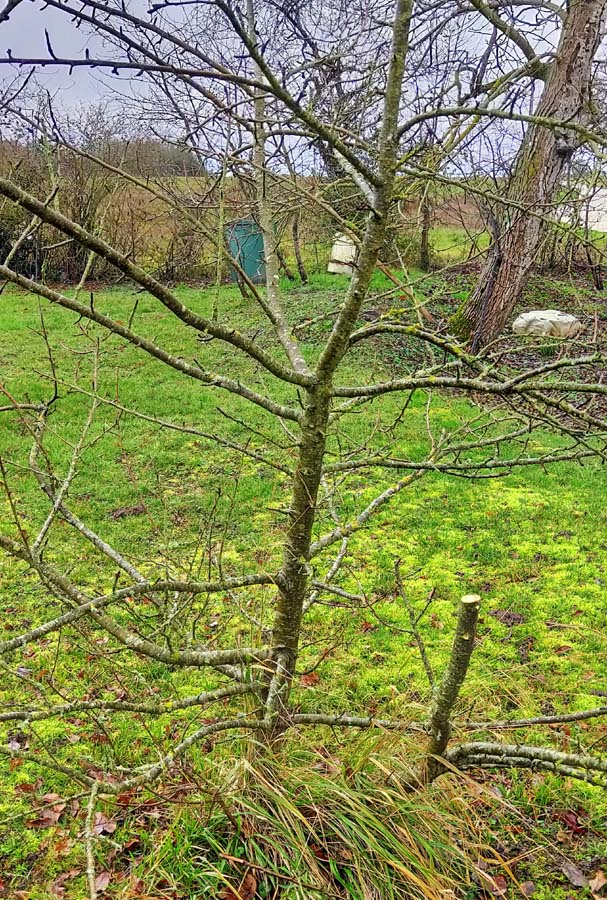 1grafting_appletree_ungrafted_rootstocks