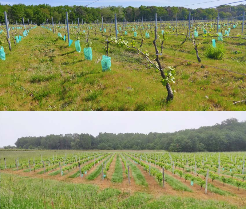 1stayhome_loire_young_vineyard