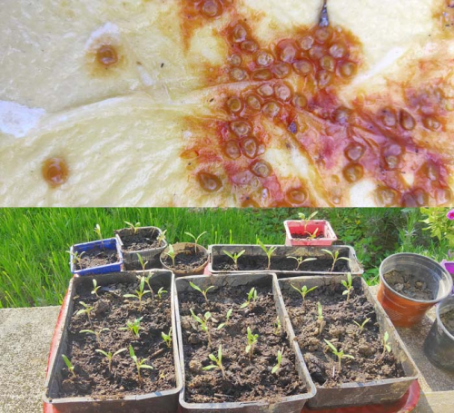 1stayhome_loire_tomato_seeds_shoots