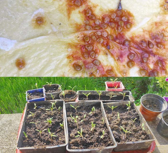 1stayhome_loire_tomato_seeds_shoots