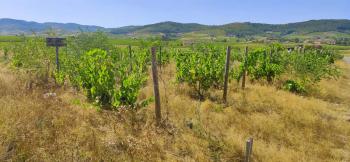 1romain_des_grottes_vignes