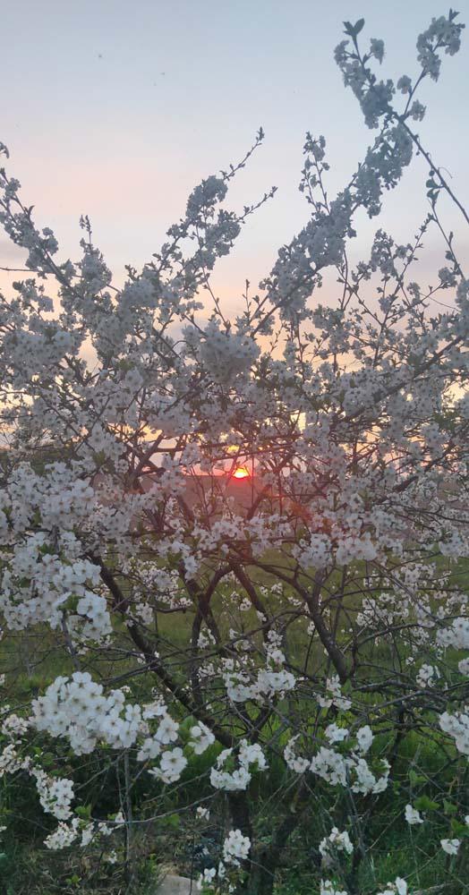 1stayhome_loire_morello_cherries