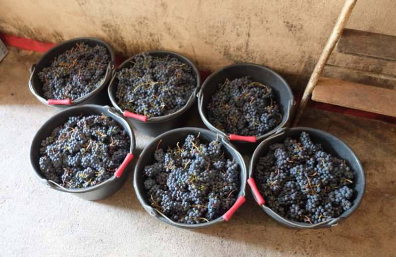 1estelle_francois_stleger_buckets_grapes