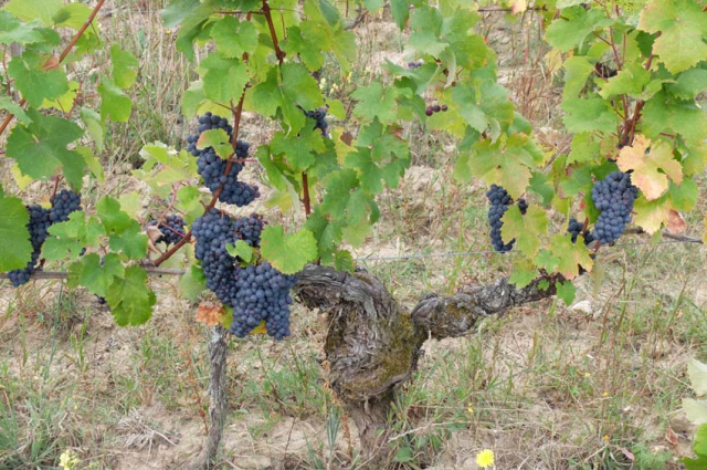 1laurent_saillard_pineau_aunis_old_vine