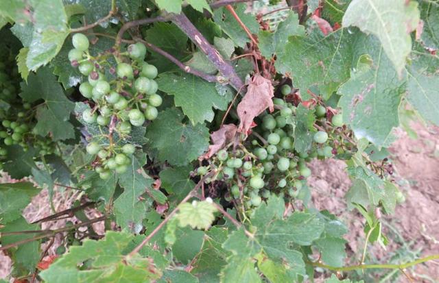 1ozil_damaged_grapes
