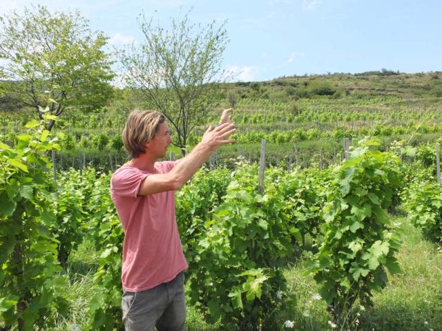 1anders_vineyard_among_untrellised_vines