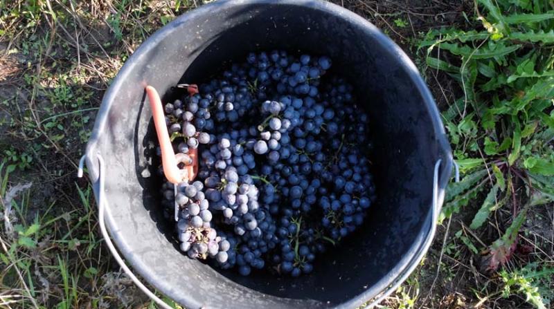 1quastana_harvest_pinot_noir