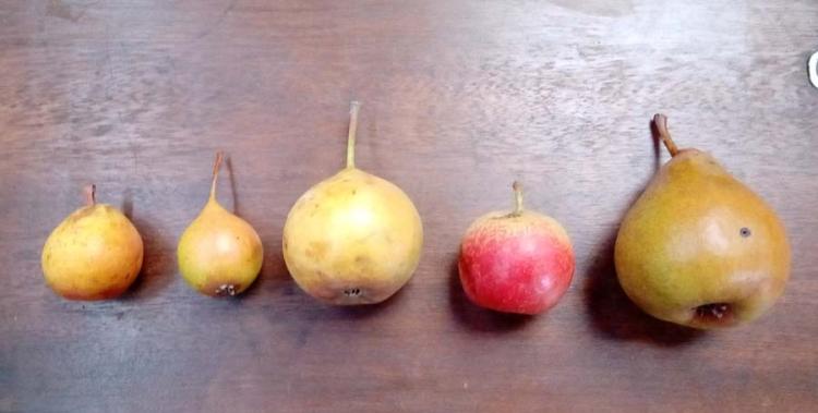 1poire_pears_varieties
