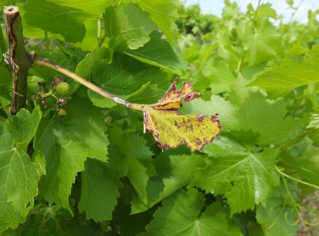 1anders_vineyard_leaf_old_new