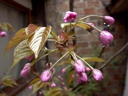 cerisier_fleurs_1.jpg