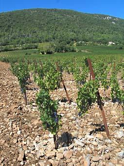 Loou_vigne_pierres
