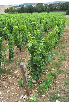 dagueneau_vineyard